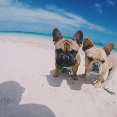 Beach babies Fred and George!, French Bulldogs❤❤