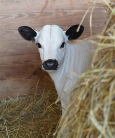 Stella | Juniper Moon Farm/  Awww so sweet, the more I work with people, the more I miss my cows - kb