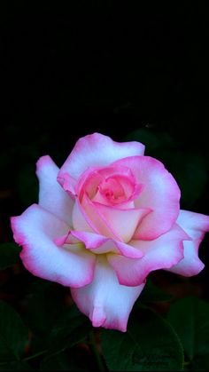 Sectret, a hybrid tea with great fragrance. Rock Flowers, Beautiful Rose Flowers, Beautiful Flowers Wallpapers, Amazing Flowers, Rosa Rose, Rose Images, Hybrid Tea Roses, Rose Photography, Purple Roses