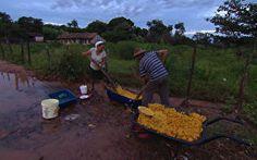 Terra de Minas acompanha processo de colheita do pequi
