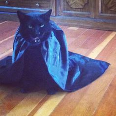 This malevolent Dracula. | 20 Cats Who Deeply Resent Their Halloween Costumes