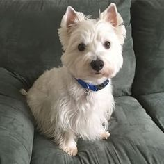 Have you ever seen a Westie cock their head to the side? You might have melted. The West Highland Terrier is a breed to end all breeds. Westies, Westie Puppies, Cute Puppies, Dogs And Puppies, Doggies, Labradoodle Puppies, Chihuahua Dogs, West Highland Terrier, Baby Animals