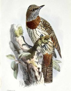 Red-throated Wryneck Jynx ruficollis - Google Search