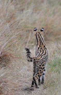 by Elsen Karstad I'm too sexy for my stripes! Taken in the Masai Mara, Kenya.