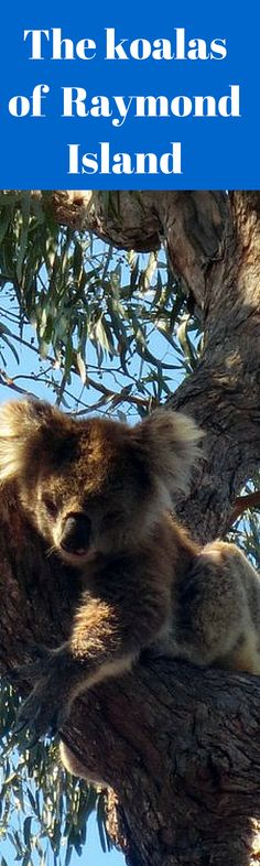 Raymond Island, The best place in Australia to see koalas in the wild.