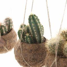 Deze cactus mix in Kokodama geven jouw woon- of slaapkamer direct een gezellige look. Hang ze voor het raam, of fleur er een donkere hoek mee op! #kokodama #cactus #hangplant #plantenhanger #hangpot #planten #kamerplanten #groeninhuis #planteninhuis Plant Painting, Plant Drawing, Cool Plants, Cactus Plants, Nature Plants, Planting For Kids, No Waste, Fence Planters, Plant Tattoo