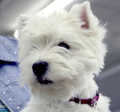 -West highland white terrier dogs