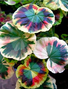 "Love these variegated Pelargoniums (""geraniums"")."
