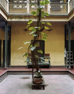 McPhee-Split-Leaf-Philodendron-Dawn-House-North-Kolkata-2005.jpg (558×716)