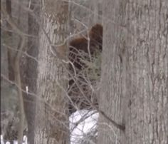 Here a very interesting Bigfoot sighting and photograph from the great state of West Virginia. Could this really be proof that the elusive cryptid is alive and well in West Virginia? Bigfoot Video, Real Bigfoot, Bigfoot Sasquatch, Bigfoot Encounters, Bigfoot Photos, Lake Monsters, Bigfoot Sightings, Cryptozoology, West Virginia