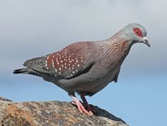 Spotted at Afton Grove - African Speckled Pigeon