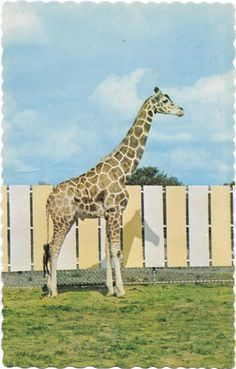 Girafle. Giraffe, Animals, Vintage, Wild Animals, Dog, Cards, Felt Giraffe, Animaux, Animal