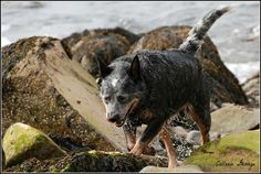 Water droplets fly off Jake as he hurries up from the shoreline...yesterday's visit to the beach involved multiple dips into the Bay!