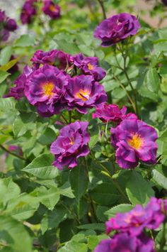 'Stormy Weather' - Climbing rose