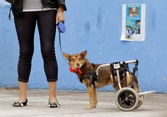 24 hours : A disabled dog named Christmas waits during a charity event