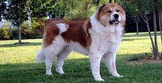 Top 10 raças de cães mais perigosas do mundo. Nessa lista das 10 raças de cães mais perigosas do mundo, levamos em conta o potencial de dano que esse animal pode causar em sua vítima. Confira!