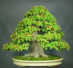 Trident Maple Bonsai (by German Gomez) - this article talks about the process for developing a Formal Upright style Bonsai with really good visual illustration of the process...I have described this process in posts, but their illustrations are a very effective tool in this. Keep in mind that you can get to 3rd level quickly with this style on the right tree material and I have advice in that on my board.
