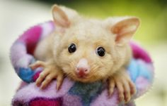 Un idolo. Bailey ha gli occhi teneri e il faccino simpatico. Da oggi è la nuova star del parco naturalistico 'Wild life', a Sydney. Si tratta di un piccolo possum di appena 6 mesi, dal pelo dorato e la coda prensile. Una specie rarissima originaria della Tasmania. Il cucciolo appartiene alla razza dei marsupiali australiani, da non confondere con gli opossum, i ''cugini'' americani dal pelo grigiastro(reuters)