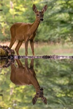 A Dixie Lady Deer Hunter: Reflections Forest Animals, Nature Animals, Animals And Pets, Baby Animals, Cute Animals, Wild Animals, Beautiful Creatures, Animals Beautiful, Photo Animaliere