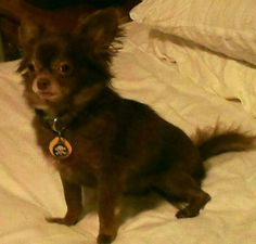 My long haired chocolate chihuahua, Dudley. <3 you are a cutie