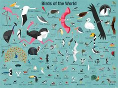 Birds Of The World Poster Decal - Wall Sticker Outlet