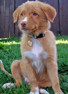 nova scotia duck tolling retriever puppy--saw one today! Adorable. Smallest of the retriever family with blue eyess...