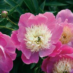Paeonia lactiflora 'Bowl of Beauty' peony.  Full Sun.