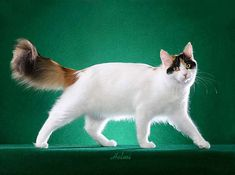 Turkish Van Cat - semi-long with cashmere-like texture; soft to the roots with no trace of undercoat; allowances made for seasonal coat length changes; feathering on ears, legs, feet, and belly; frontal neck ruff and full brush tail.