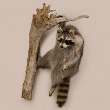 Hanging Racoon hopefully humanely done