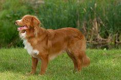 Dit is ook één van de honden rassen die ik zeer mooi vindt. Het ras van deze hond is: novia scotie duck tolling retriever.