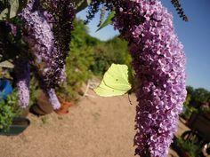 Brimstone butterfly on buddleja