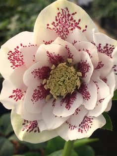 Winter Gems for the Garden! Hellebores are the gems of the winter woodland garden. Hellebores, also known as lenten rose, come in a wide range colors and flower forms, they are deer resistant and drought tolerant once established. Beautiful Flowers, Planting Flowers, Unusual Flowers, Flowers, Unusual Plants, Winter Plants, Woodland Garden, Lenten Rose, Winter Flowers