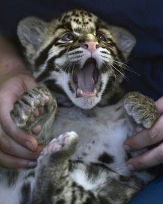 This clouded leopard who can't BELIEVE what you just said. | The 40 Most Adorable Baby Animal Photographs Of 2013
