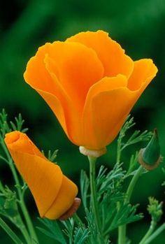 Eschscholzia californica 'Orange King' Cómo hacer que me pierda los campos de amapolas de casa.  Me pregunto si voy a ver de nuevo .: