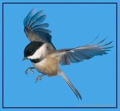 Chickadee in Flight 3 by kirwinj, via Flickr