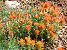 Mountain Paintbrush - https://melaniepsmith.com/downloads/mountain-paintbrush/ - Mountain Paintbrush in the Spring | Utah  Purchased photo will not contain watermark. You are purchasing a standard license Click Here for license details.  You may use this image in accordance with the license agreement in such things as web blogs, magazines, book covers, web design, etc.   - https://melaniepsmith.com/wp-content/uploads/edd/2016/04/Mountain-Paintbrush.jpg
