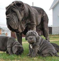 1000  images about Neapolitan Mastiffs on Pinterest | Beautiful ...