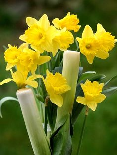 Daffodils and leeks - the 2 emblems the Welsh wear to celebrate St David's Day Springtime Quotes, Welsh Language, Saint David's Day, Flower Symbol, Snowdonia, Cymru, Thinking Day, Swansea, Patron Saints