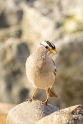 Print of a White-Crowned Sparrow on a Rock