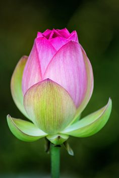 Lotus Flower Pictures, Lotus Flower Art, Lotus Art, Macro Flower, Flower Photos, Amazing Flowers, Beautiful Flowers, Flowers Nature, Yellow Roses