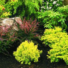 'Crimson Pygmy' barberry contrasts with 'Goldflame' spiraea.