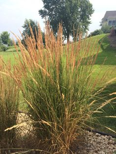 myGardenAnswers: KARL FOERSTER (calamagrostis x acutiflora) Easily grown in average, medium to wet soil in full sun. Does well in heavy clay soils, unlike many of the other ornamental grasses. Like most ornamental grasses cut clumps to the ground in late winter just before the new shoots appear.  Brought to you by myGardenAnswers. Now available in the app store.