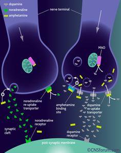 drugtoxicology - Methamphetamine - How Meth acts within the body
