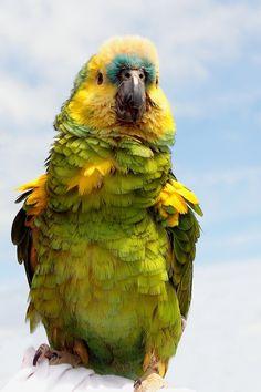 Snow Parrot New Zealand Kea Tattoo Pinterest Snow