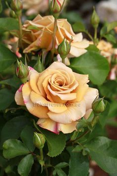 Honey Dijon - Warm golden brown is a most uncommon colour in roses.  This novel colouring develops deeper shades in cooler climates and will appeal with a...