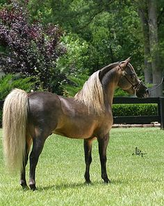 american shetland pony | chestnut american shetland pony | Flickr - Photo Sharing!
