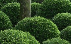 Soft Touch Holly: (rounded leaf)  Compact, low growing, little to no pruning needed. Great alternative to boxwoods~