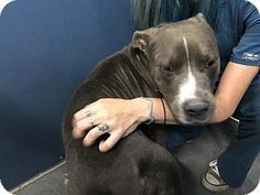 Henderson, NC - Pit Bull Terrier Mix. Meet Johnny, a dog for adoption. http://www.adoptapet.com/pet/18715591-henderson-north-carolina-pit-bull-terrier-mix