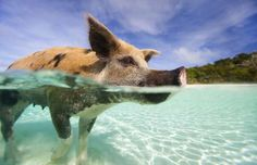 SWIMMING WITH WILD PIGS IN EXUMA