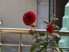 Red Dahlia from the family of Asteraceae.